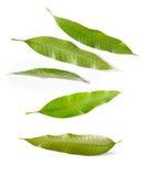 Φύλλα μάγκο Στοκ εικόνα με δικαίωμα ελεύθερης χρήσης
