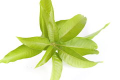 Φύλλα μάγκο Στοκ Εικόνα