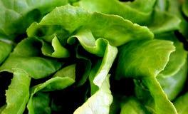 Φύλλα μαρουλιού Butterhead Στοκ εικόνες με δικαίωμα ελεύθερης χρήσης