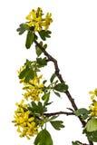 Φύλλα μαύρων σταφίδων με τα λουλούδια που απομονώνονται στο άσπρο υπόβαθρο Στοκ Εικόνες