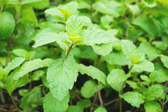 Φύλλα μεντών, οργανικός κήπος λαχανικών Στοκ εικόνα με δικαίωμα ελεύθερης χρήσης