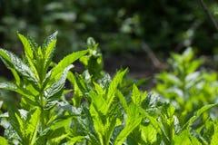 Φύλλα μεντών στον κήπο κάτω από τις ακτίνες του ήλιου Κλείστε επάνω της φρέσκιας σύστασης φύλλων μεντών ή του αφηρημένου υποβάθρο Στοκ εικόνες με δικαίωμα ελεύθερης χρήσης