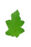 Φύλλα μελιτζάνας Στοκ Φωτογραφία