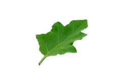 Φύλλα μελιτζάνας Στοκ Εικόνα