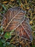Φύλλα με την πάχνη Στοκ Εικόνες