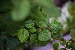 Φύλλα με τις απελευθερώσεις του νερού Στοκ Εικόνα