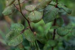 Φύλλα με τις απελευθερώσεις του νερού Στοκ Εικόνες