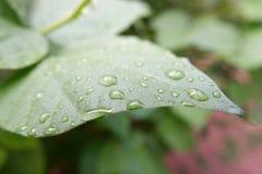 φύλλα με τις πτώσεις νερού Στοκ Φωτογραφίες