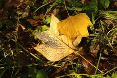 Φύλλα με τις πτώσεις δροσιάς Στοκ Φωτογραφίες