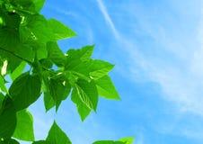 Φύλλα μουριών ή Morus στον ουρανό Στοκ Εικόνες