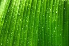 Φύλλα μπανανών με τις πτώσεις νερού Στοκ Εικόνες