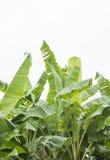 Φύλλα μπανανών με το υπόβαθρο απομονώσεων Στοκ εικόνες με δικαίωμα ελεύθερης χρήσης