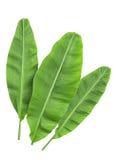 Φύλλα μπανανών που απομονώνονται πέρα από το λευκό στοκ εικόνα
