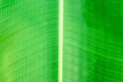 Φύλλα μπανανών στον κήπο στοκ φωτογραφίες με δικαίωμα ελεύθερης χρήσης