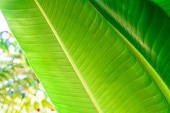 Φύλλα μπανανών στον κήπο στοκ εικόνες