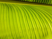 Φύλλα μπανανών του φρέσκου πράσινου φύλλου backlight στοκ φωτογραφία