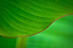 Φύλλα μπανανών. Στοκ Φωτογραφίες