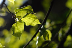 Φύλλα οξιών σε ένα δάσος ενάντια στο μουτζουρωμένο backround με το πολύβλαστο gree Στοκ εικόνες με δικαίωμα ελεύθερης χρήσης
