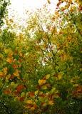 Φύλλα οξιών το φθινόπωρο Στοκ Εικόνες