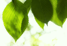 Φύλλα οξιών Στοκ εικόνες με δικαίωμα ελεύθερης χρήσης
