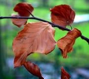 Φύλλα οξιών στοκ φωτογραφίες με δικαίωμα ελεύθερης χρήσης