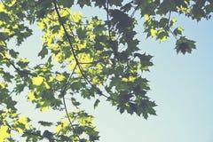 Φύλλα ουρανού Στοκ Εικόνες