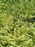 φύλλα πεύκων Στοκ εικόνα με δικαίωμα ελεύθερης χρήσης
