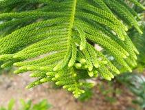 φύλλα πεύκων Στοκ Εικόνα
