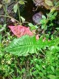 Φύλλα πικραλίδων Στοκ φωτογραφία με δικαίωμα ελεύθερης χρήσης