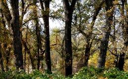 Φύλλα που βρέχουν κάτω από τα δρύινα δέντρα στοκ εικόνα με δικαίωμα ελεύθερης χρήσης