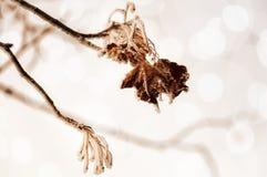 Φύλλα που καλύπτονται κόκκινα με το hoarfrost Στοκ Φωτογραφίες