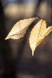 Φύλλα που κρεμούν επάνω Στοκ Εικόνες