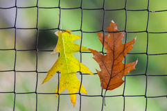 Φύλλα που κρεμούν στο φράκτη μετάλλων Στοκ εικόνες με δικαίωμα ελεύθερης χρήσης
