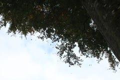 Φύλλα που πέφτουν από ένα δρύινο δέντρο Στοκ Εικόνες
