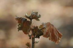 Φύλλα που πέφτουν από ένα Malva φυτό Στοκ Εικόνα