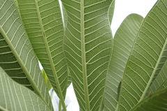 Φύλλα πράσινα Στοκ Φωτογραφίες