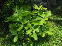 Φύλλα πράσινου φυτού, φύλλο, φύλλωμα, μίσχος, στον κήπο μετά από τη βροχή Στοκ Εικόνες