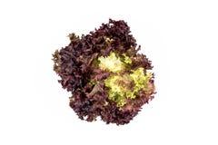 Φύλλα σαλάτας, κόκκινο μαρούλι φύλλων στοκ φωτογραφία