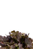 Φύλλα σαλάτας, κόκκινο μαρούλι Romaine μωρών στοκ εικόνα με δικαίωμα ελεύθερης χρήσης
