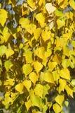 Φύλλα σημύδων Στοκ Εικόνες