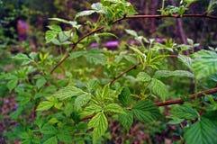 Φύλλα σμέουρων Στοκ φωτογραφία με δικαίωμα ελεύθερης χρήσης