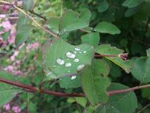 φύλλα σταγονίδιων Στοκ Εικόνα