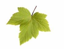 Φύλλα σταφίδων Στοκ Εικόνα