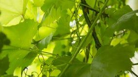 Φύλλα σταφυλιών, άμπελος, αμπελώνας φιλμ μικρού μήκους