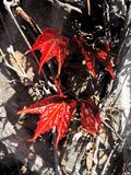 Φύλλα στις αμπέλους Στοκ Φωτογραφίες