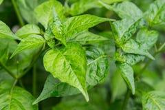 Φύλλα στον κήπο μια βροχερή ημέρα, καψικό, Solanaceae Στοκ Εικόνες