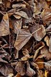 Φύλλα στον πάγο Στοκ Φωτογραφία