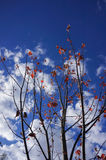 Φύλλα σφενδάμου με το μπλε ουρανό στο εθνικό πάρκο Grampians, φθινόπωρο Αυστραλία Στοκ Φωτογραφίες