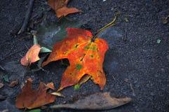 Φύλλα σφενδάμου ξηρά, κατσαρωμένος και κόκκινος στοκ φωτογραφία με δικαίωμα ελεύθερης χρήσης