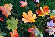 Φύλλα σφενδάμου πτώσης Στοκ Φωτογραφίες